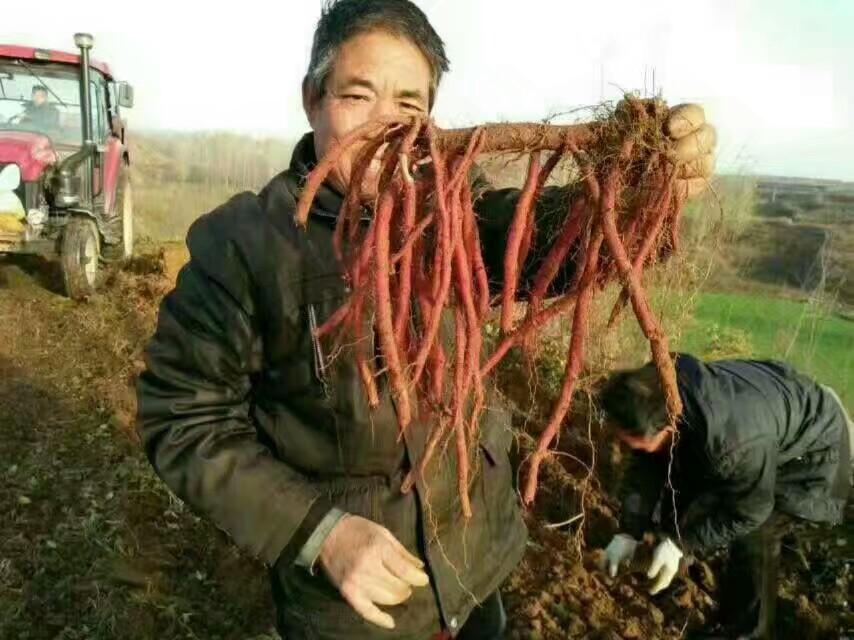 安徽亳州优质丹参苗育苗基地 --富家中药种植合作社  包回收-- 亳州市谯城区富家中药材种植农民专业合作社