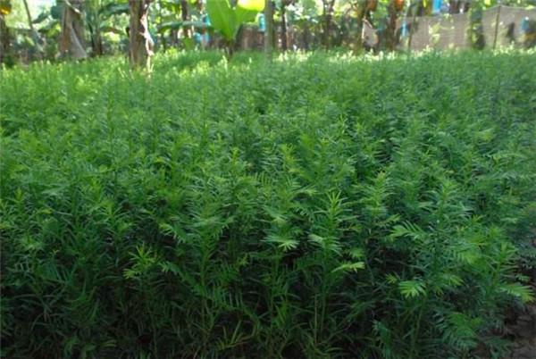 红豆杉苗-- 宁都苗圃基地
