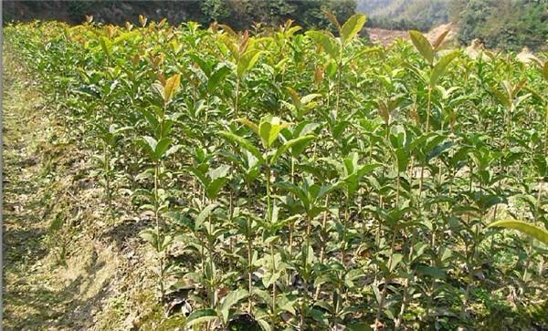 桂花苗-- 宁都苗圃基地