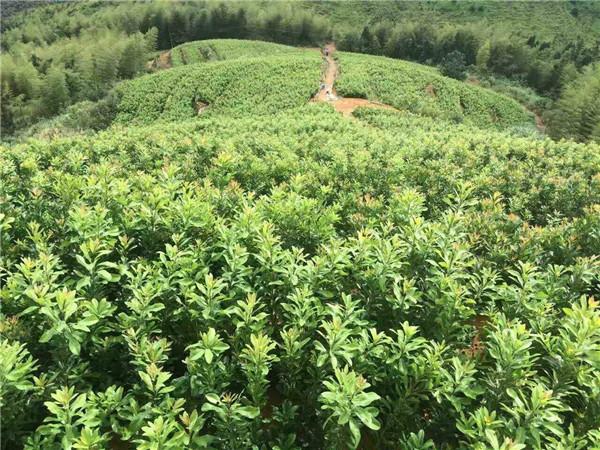 杨梅苗-- 宁都苗圃基地