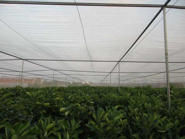 蜜柚苗-- 宁都苗圃基地