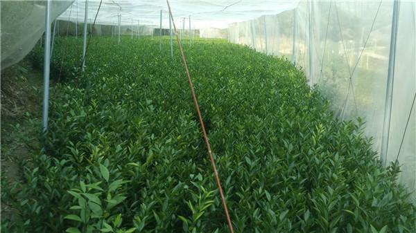 温柑苗-- 宁都苗圃基地