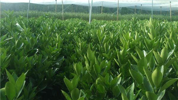 红肉脐橙苗-- 宁都苗圃基地