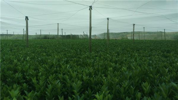赣南优质纽荷尔脐橙苗/红肉脐橙苗/特早熟脐橙苗等各种果树苗-- 宁都苗圃基地