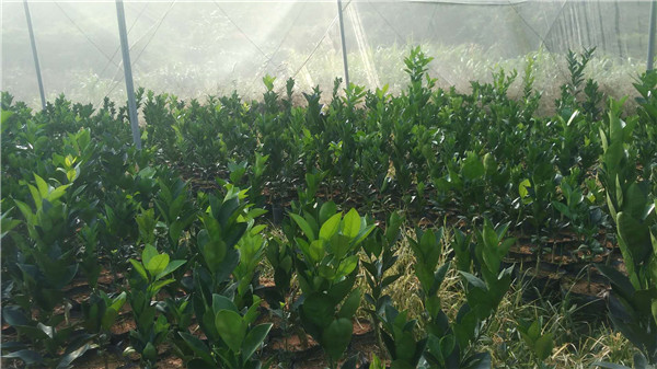 纽荷尔营养袋-- 宁都苗圃基地