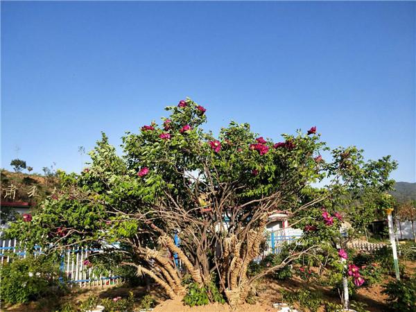 百年野生紫斑牡丹-- 甘肃禾邦生态农林科技开发有限公司