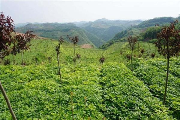 凤丹育苗基地-- 甘肃禾邦生态农林科技开发有限公司