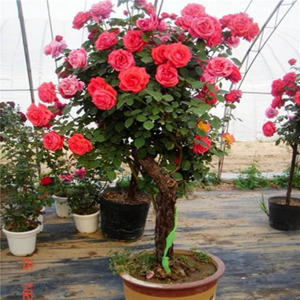 高杆月季-- 甘肃禾邦生态农林科技开发有限公司