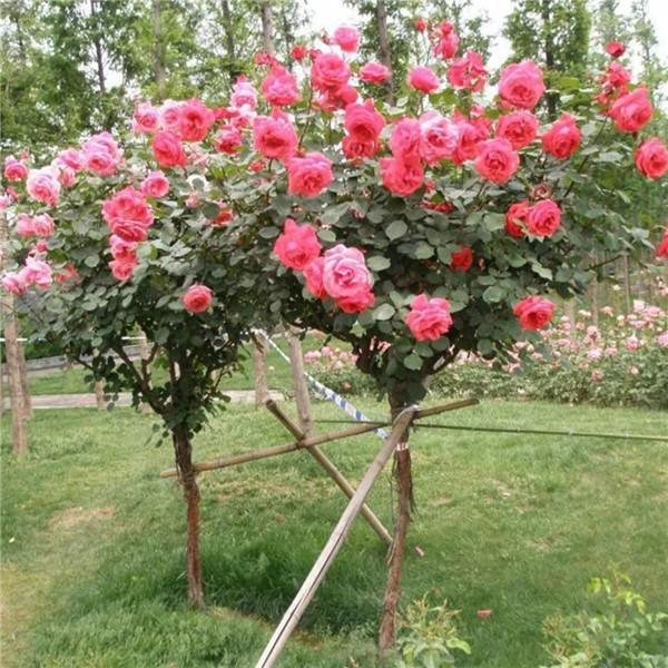 高杆月季基地-- 甘肃禾邦生态农林科技开发有限公司