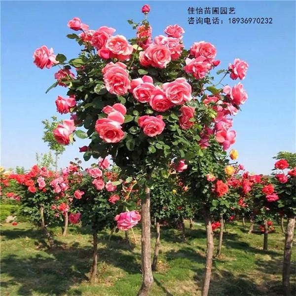 高杆月季价格-- 甘肃禾邦生态农林科技开发有限公司