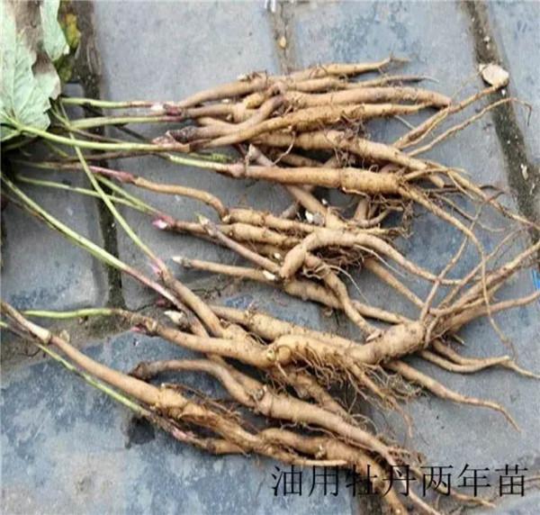 凤丹苗-- 甘肃禾邦生态农林科技开发有限公司