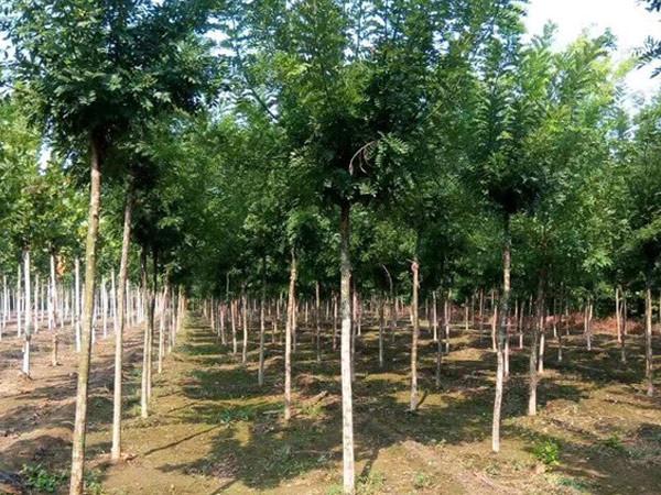 国槐-- 邳州市千顺苗木种植专业合作社
