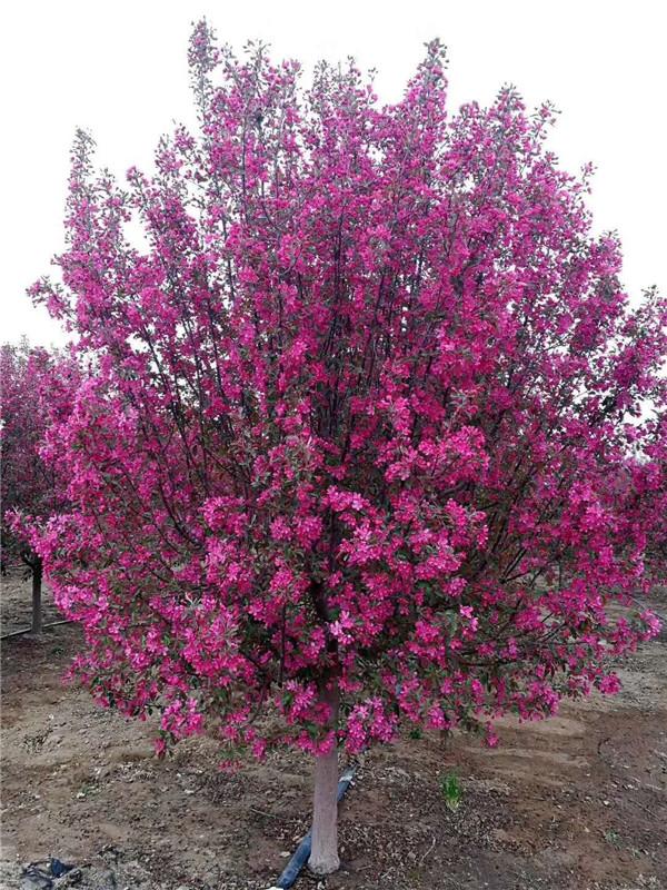海棠-- 邳州市千顺苗木种植专业合作社