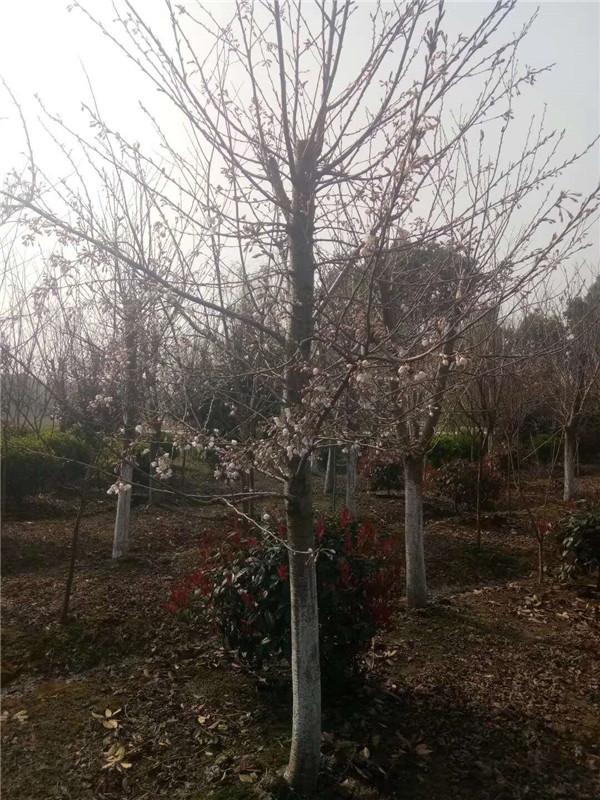 樱花-- 邳州市千顺苗木种植专业合作社
