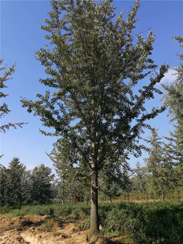 银杏树-- 邳州市千顺苗木种植专业合作社