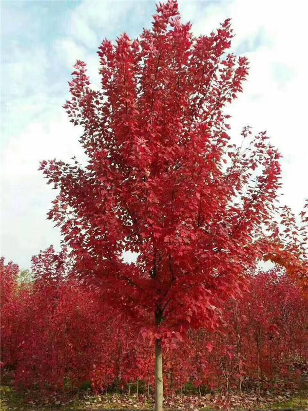 美国红枫-- 邳州市千顺苗木种植专业合作社