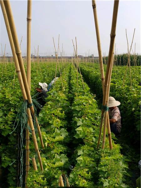 新品种苗木基地-- 昌黎永清葡萄苗新品种繁育场