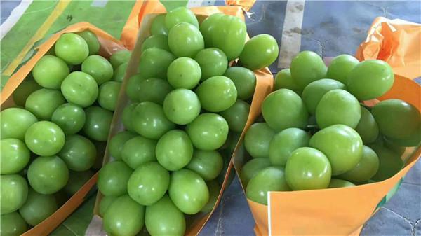 阳光玫瑰葡萄-- 昌黎永清葡萄苗新品种繁育场