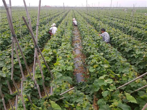 阳光玫瑰嫁接苗-- 昌黎永清葡萄苗新品种繁育场