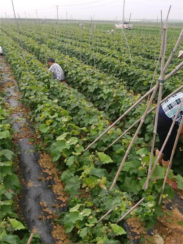 阳光玫瑰扦插苗-- 昌黎永清葡萄苗新品种繁育场