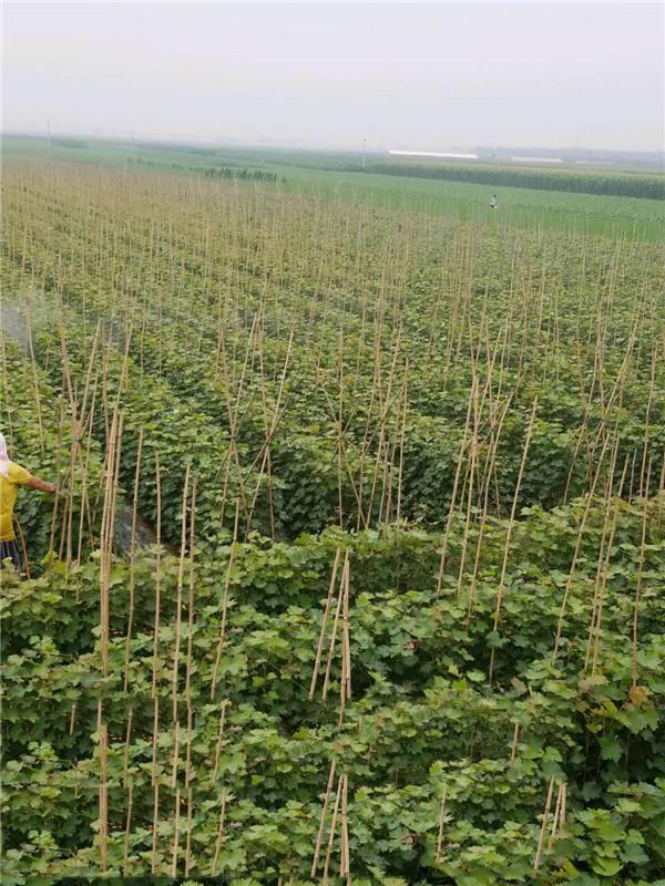 蜜光扦插苗-- 昌黎永清葡萄苗新品种繁育场