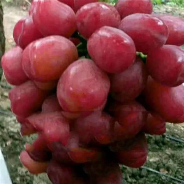浪漫红颜-- 昌黎永清葡萄苗新品种繁育场