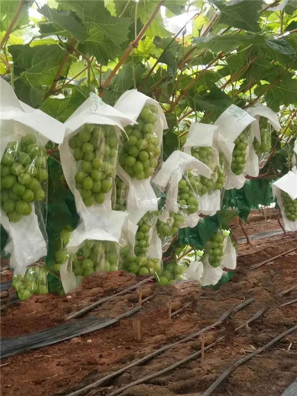 阳光玫瑰-- 昌黎永清葡萄苗新品种繁育场