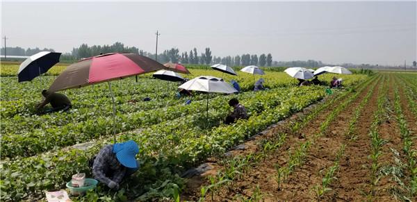 新品种嫁接苗木基地-- 昌黎永清葡萄苗新品种繁育场