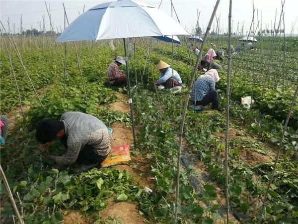 甜蜜蓝宝石嫁接基地-- 昌黎永清葡萄苗新品种繁育场