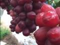 葡萄新品种视频 (5播放)