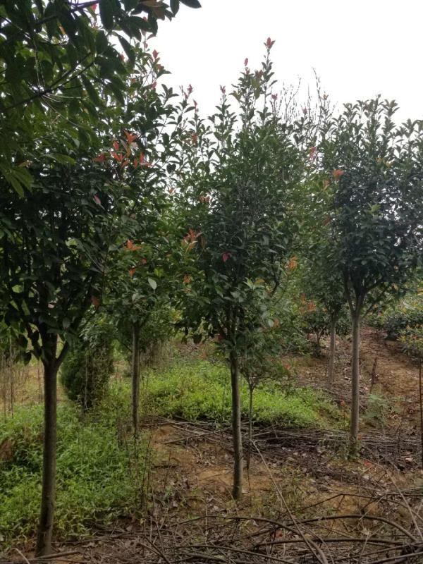 红叶石楠高杆-- 安徽常森园林绿化工程有限公司