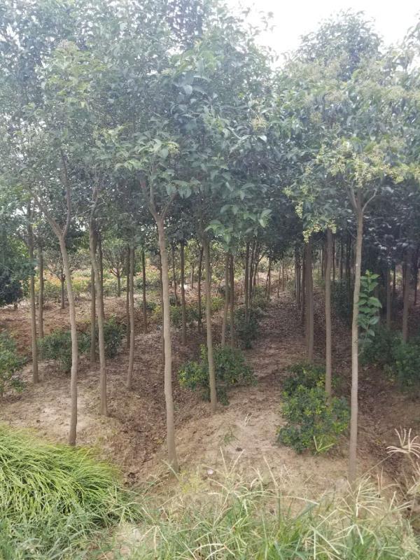 大叶女贞-- 安徽常森园林绿化工程有限公司