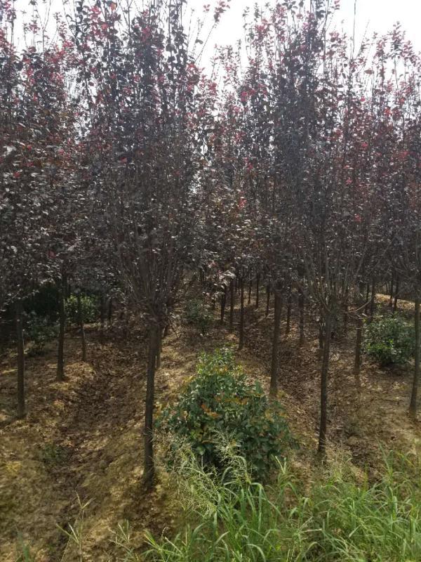 红叶李-- 安徽常森园林绿化工程有限公司