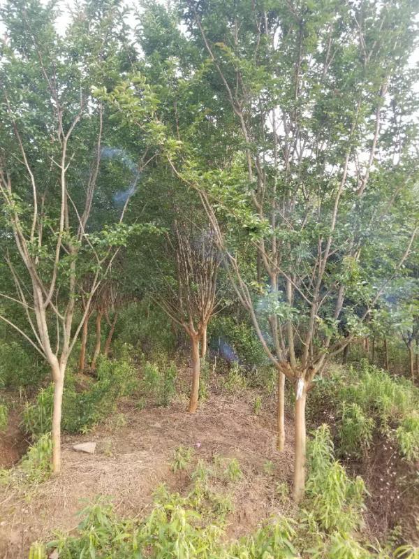 紫薇-- 安徽常森园林绿化工程有限公司