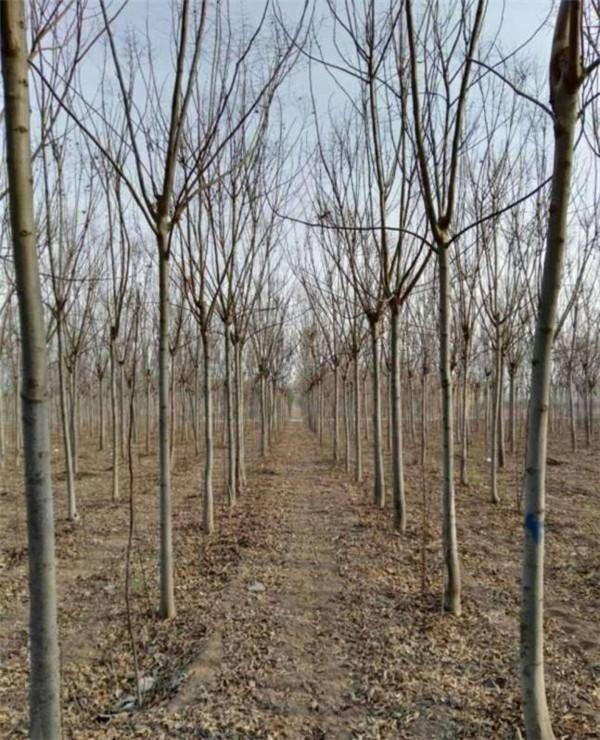 栾树-- 安徽常森园林绿化工程有限公司