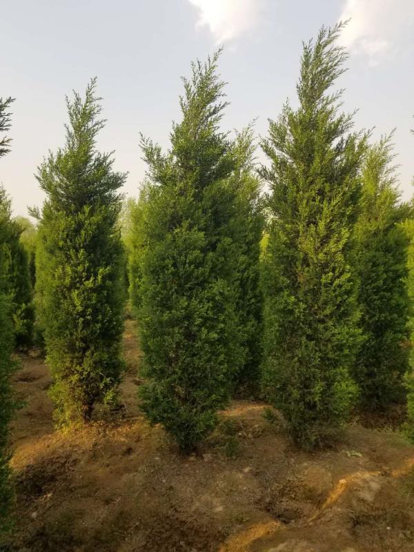 蜀桧-- 安徽常森园林绿化工程有限公司