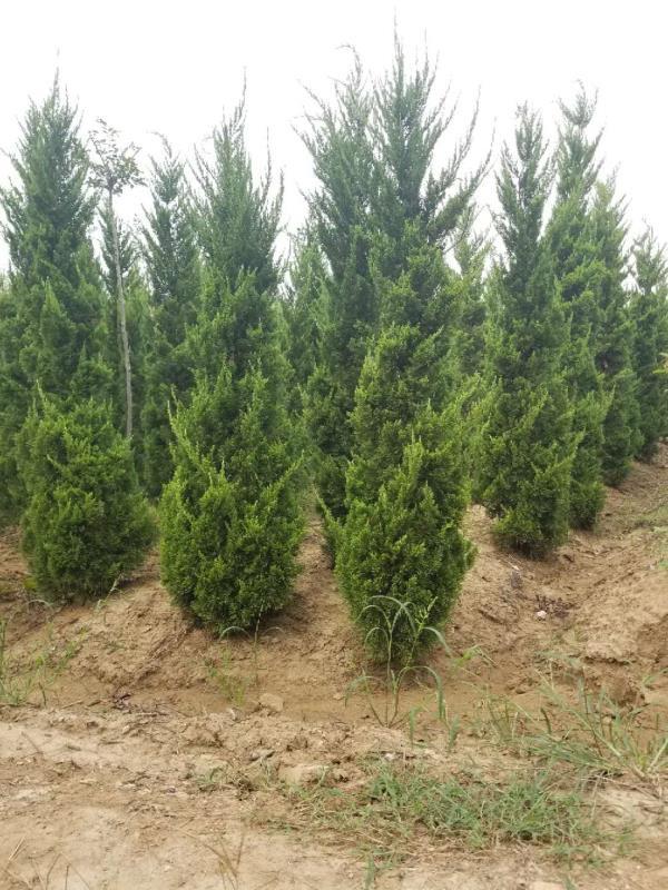龙柏-- 安徽常森园林绿化工程有限公司