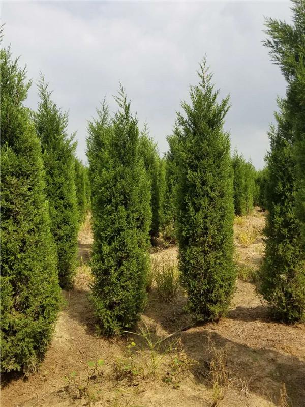 塔柏-- 安徽常森园林绿化工程有限公司
