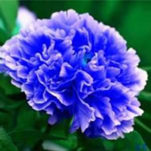 蓝色牡丹系列