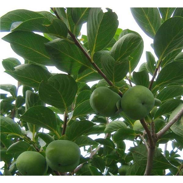 柿子树-- 红岐苗木|户太八号葡萄苗基地、核桃苗基地、苹果苗基地