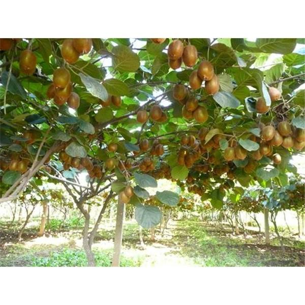 猕猴桃苗木