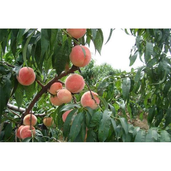沙紅桃樹苗-- 紅岐苗木|戶太八號葡萄苗基地、核桃苗基地、蘋果苗基地