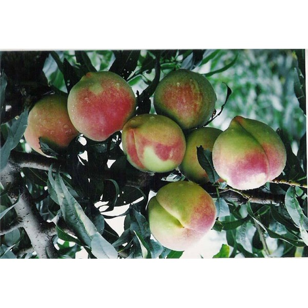 秦王桃树苗-- 红岐苗木|户太八号葡萄苗基地、核桃苗基地、苹果苗基地