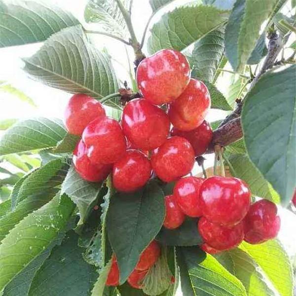 早大果樱桃苗-- 红岐苗木|户太八号葡萄苗基地、核桃苗基地、苹果苗基地
