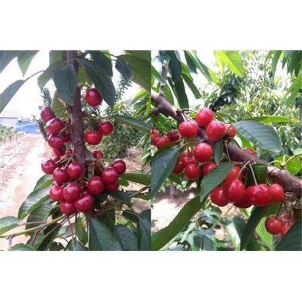 吉塞拉樱桃苗-- 红岐苗木|户太八号葡萄苗基地、核桃苗基地、苹果苗基地