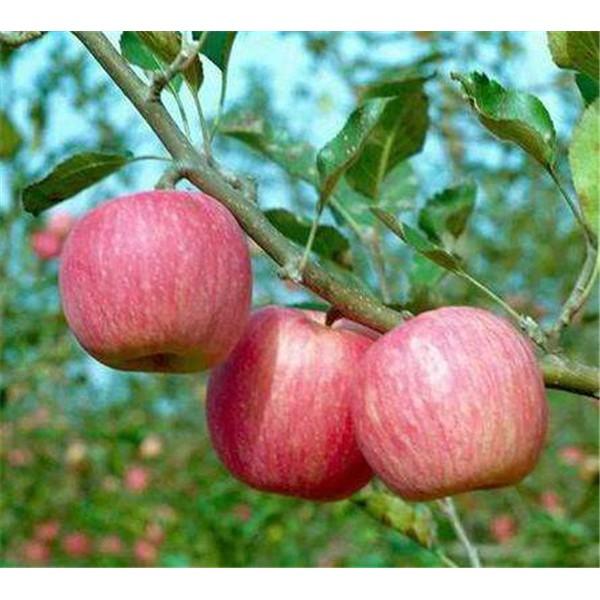 秦冠苹果苗-- 红岐苗木|户太八号葡萄苗基地、核桃苗基地、苹果苗基地
