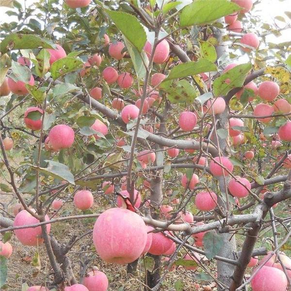 富士苹果苗-- 红岐苗木|户太八号葡萄苗基地、核桃苗基地、苹果苗基地