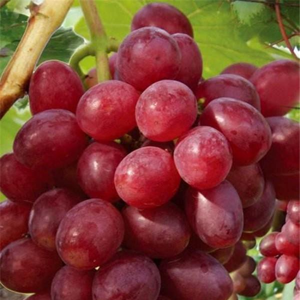 红巴拉多葡萄苗-- 红岐苗木|户太八号葡萄苗基地、核桃苗基地、苹果苗基地