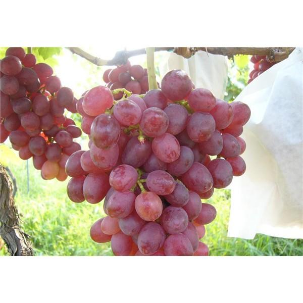 黑巴拉多葡萄苗-- 红岐苗木|户太八号葡萄苗基地、核桃苗基地、苹果苗基地
