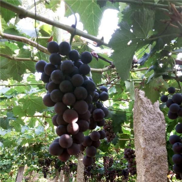 巨丰葡萄苗-- 红岐苗木|户太八号葡萄苗基地、核桃苗基地、苹果苗基地